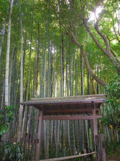 03-1)  _ 16.05.05 白藤に蜜蜂が集う時期の、鎌倉「英勝寺」。