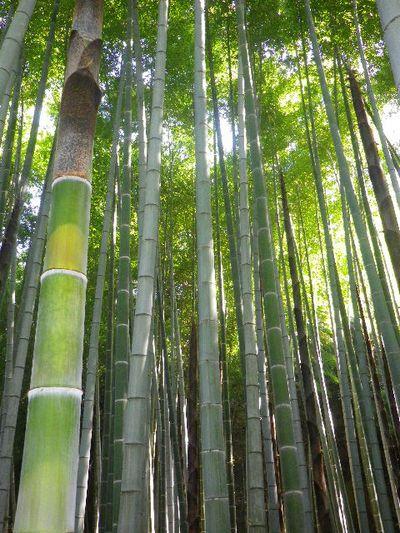 03-2)  _ 16.05.05 白藤に蜜蜂が集う時期の、鎌倉「英勝寺」。