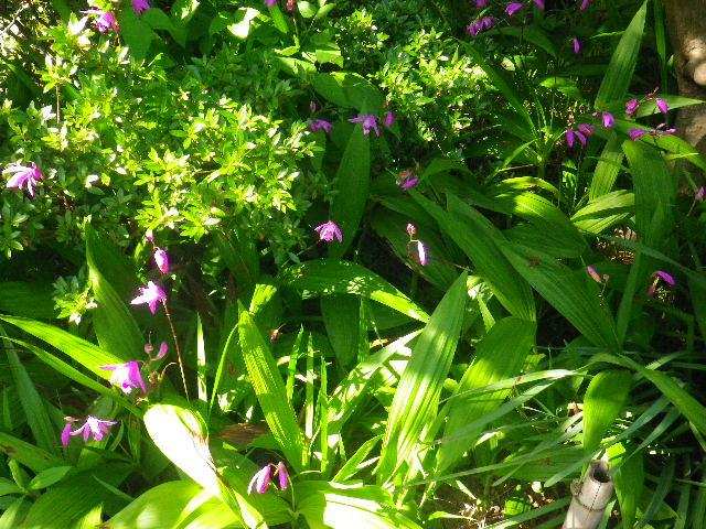 04-1)  _ 16.05.05 白藤に蜜蜂が集う時期の、鎌倉「英勝寺」。