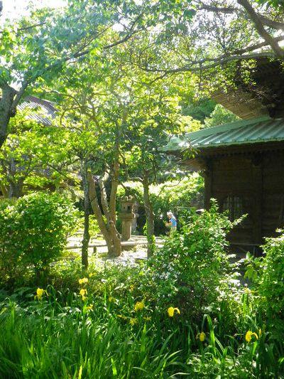 04-3)  _ 16.05.05 白藤に蜜蜂が集う時期の、鎌倉「英勝寺」。