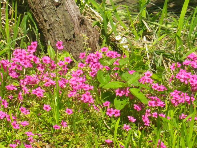 04-4)  _ 16.05.05 白藤に蜜蜂が集う時期の、鎌倉「英勝寺」。