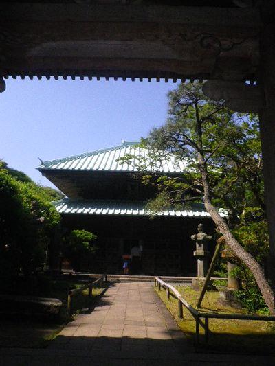 06-2)  _ 16.05.05 白藤に蜜蜂が集う時期の、鎌倉「英勝寺」。