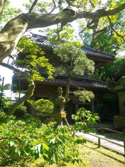 06-5)  _ 16.05.05 白藤に蜜蜂が集う時期の、鎌倉「英勝寺」。