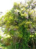 01)   16.04.30 鎌倉「別願寺」毎年のように撮ることで生命力を貰う気がする藤の大木
