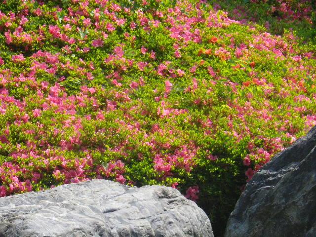 01-5) 16.05.21 鎌倉「光明寺」石庭にサツキが色を添える頃