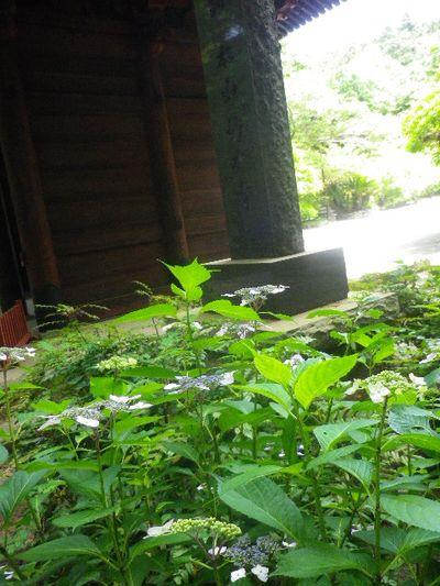 16-1) 二天門の右前から _ 16.06.04 鎌倉「妙本寺」西洋紫陽花よりも先に、ヤマアジサイ/ガクアジサイが見頃の日。