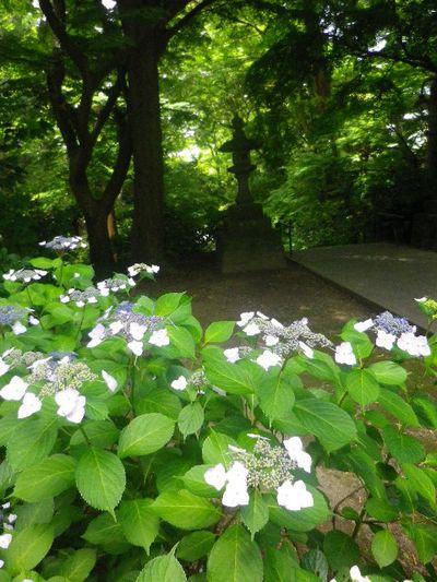 18-1) 二天門の右前から振り返る _ 16.06.04 鎌倉「妙本寺」西洋紫陽花よりも先に、ヤマアジサイ/ガクアジサイが見頃の日。