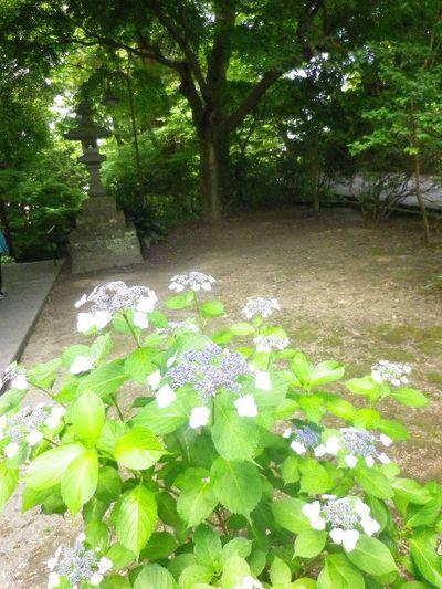 19) 二天門の左前から振り返る _ 16.06.04 鎌倉「妙本寺」西洋紫陽花よりも先に、ヤマアジサイ/ガクアジサイが見頃の日。