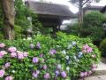 01) 道路沿いの紫陽花、左。 _ 16.06.19 朝の 鎌倉「極楽寺」山門周辺