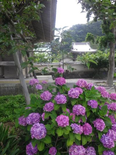 02-1) 山門右手前の紫陽花 _ 16.06.19 蓮が咲き始めた 鎌倉「光明寺」