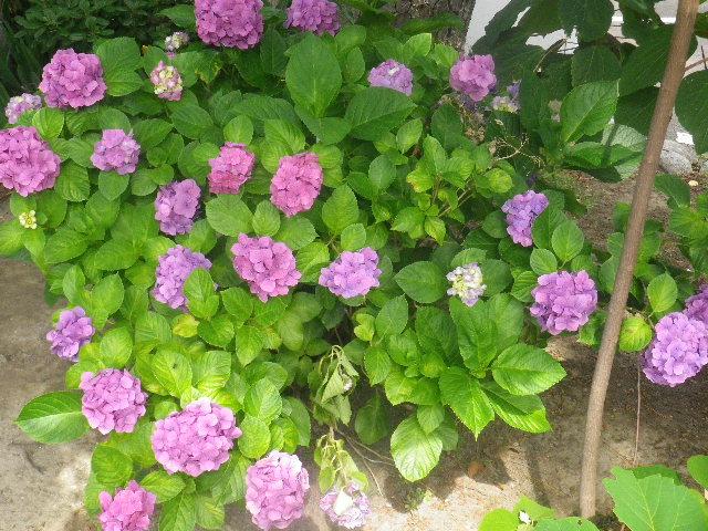 03) 山門を潜ってからの紫陽花 _ 16.06.19 蓮が咲き始めた 鎌倉「光明寺」
