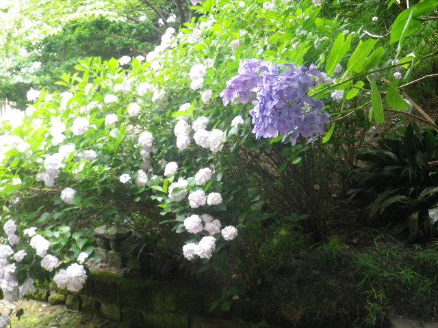 05-3) 大殿左の紫陽花 05)奥 _ 16.06.19 蓮が咲き始めた 鎌倉「光明寺」