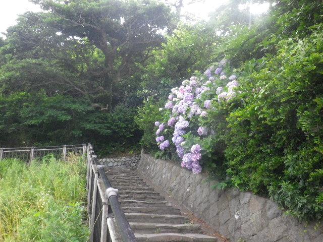 C02-1) _ 16.06.19  紫陽花が咲く 「鎌倉海浜公園稲村ガ崎地区」 の朝