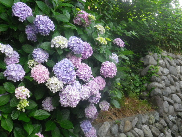 C03) _ 16.06.19  紫陽花が咲く 「鎌倉海浜公園稲村ガ崎地区」 の朝