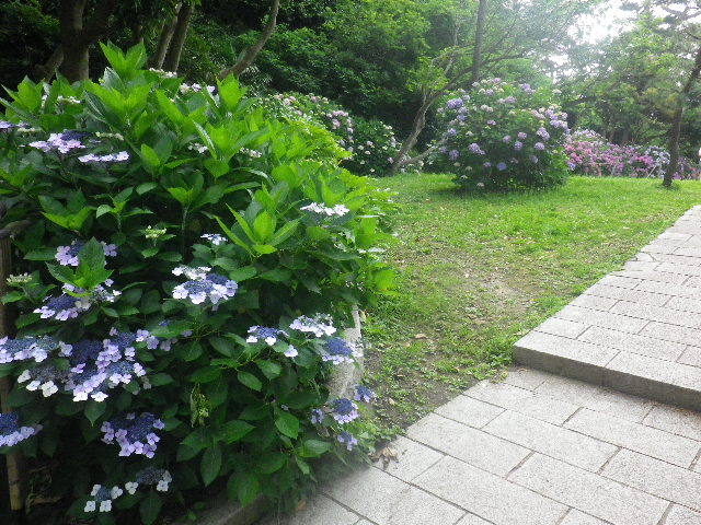 D02) _ 16.06.19  紫陽花が咲く 「鎌倉海浜公園稲村ガ崎地区」 の朝