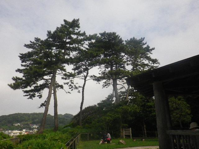 E04) 私の原風景を想い起こさせてくれた松の木。 _ 16.06.19  紫陽花が咲く 「鎌倉海浜公園稲村ガ崎地区」 の朝