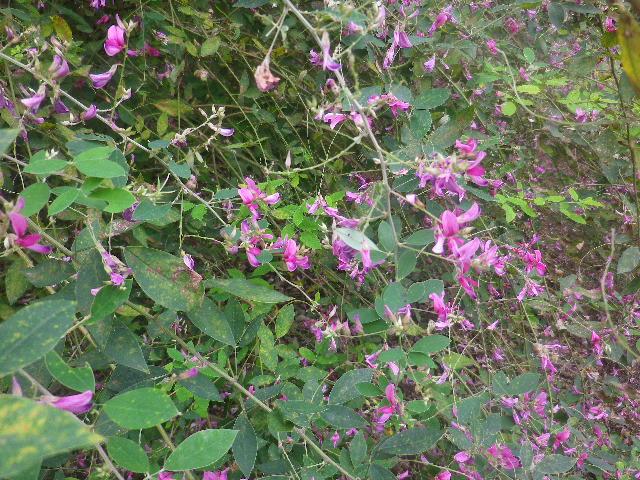 06-2) _ 16.09.29 鎌倉「宝戒寺」 ' 萩の寺 ' とも呼ばれるが、今年の花は台風に甚振られた。