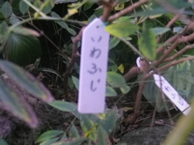 03-1) いわふじ _ 16.11.05 鎌倉「大巧寺」 立冬直前の境内