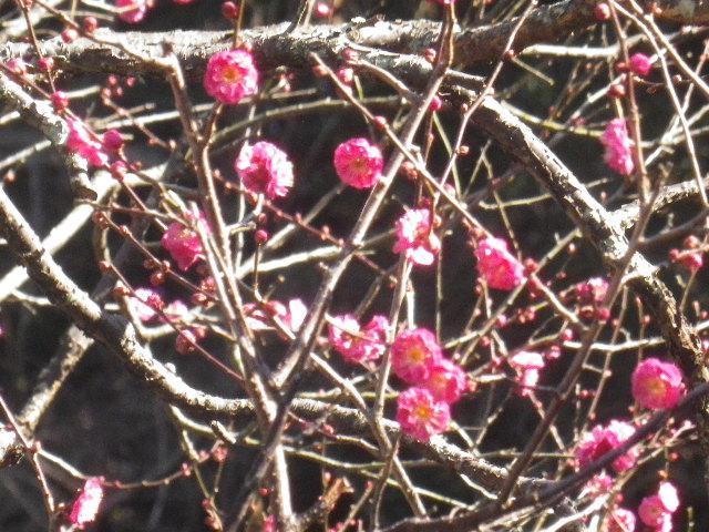 04)  _ 17.01.02 もう梅が咲いていた 鎌倉「荏柄天神社」