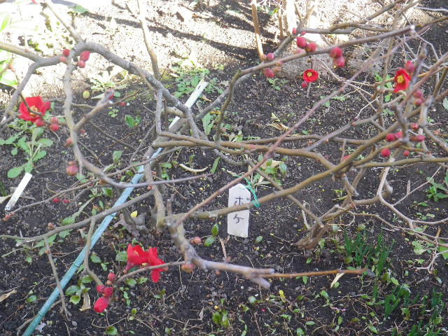 03-1)    おおっ 紅梅も咲いている! っと思ったら ・・・ ・・・ 17.01.13 鎌倉「大巧寺」 初詣