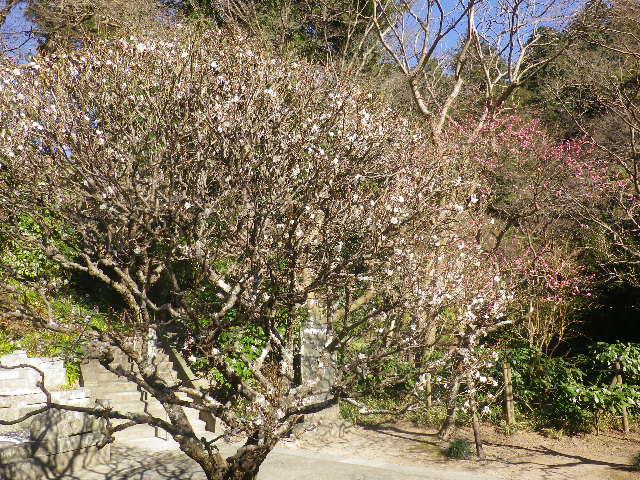 04-1)    17.01.28 本年は今日が旧正月元日の 鎌倉「妙本寺」