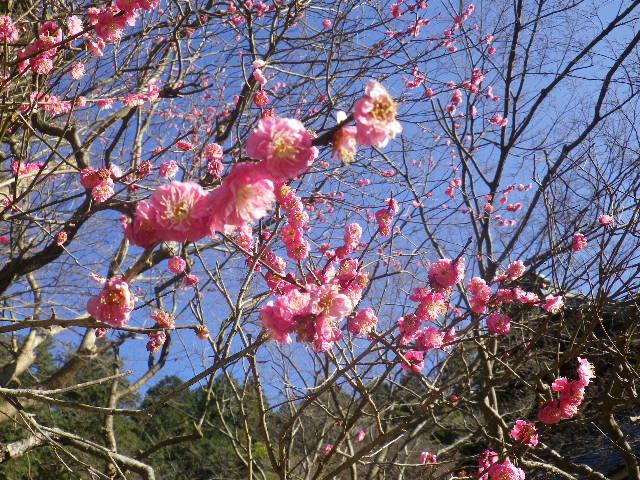 05-2)    17.01.28 本年は今日が旧正月元日の 鎌倉「妙本寺」