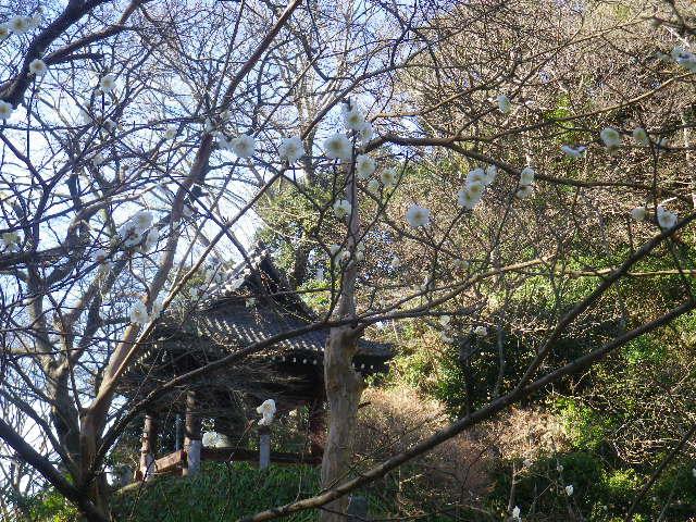 07-1)    17.01.28 本年は今日が旧正月元日の 鎌倉「妙本寺」
