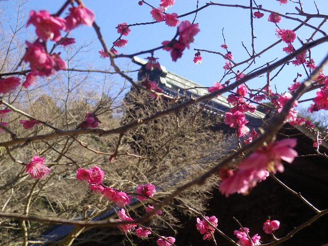 07-3)    17.01.28 本年は今日が旧正月元日の 鎌倉「妙本寺」
