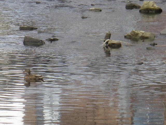 """04)    17.02.11 鎌倉 """" 閻魔橋 """" の下に鴨が いっぱいいた。 _ 鎌倉市 ビミョーだけど滑川だから由比ガ浜"""