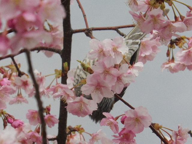 01-4)     開山堂を背景に、寺務所前の河津桜。   17.02.11 鎌倉「光明寺」 鳥が河津桜の蜜を吸っていた