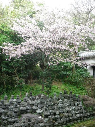 03-2)  大殿左側の河津桜   17.02.11 鎌倉「光明寺」 鳥が河津桜の蜜を吸っていた