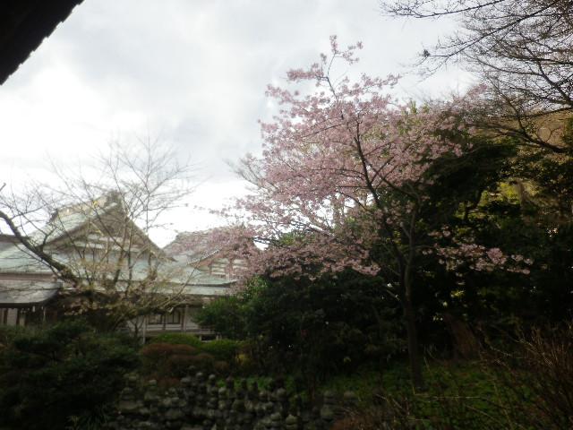 03-3)  大殿左側の河津桜   17.02.11 鎌倉「光明寺」 鳥が河津桜の蜜を吸っていた