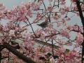 01-5)     開山堂を背景に、寺務所前の河津桜。   17.02.11 鎌倉「光明寺」 鳥が河津桜の蜜を吸っていた