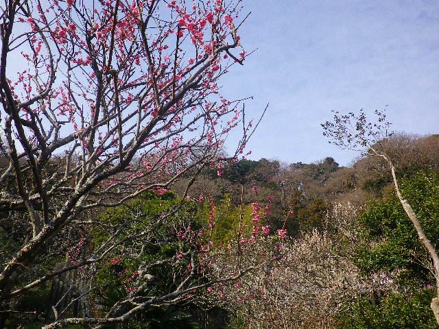 04-1)   17.02.18 鎌倉「光則寺」 梅咲く頃