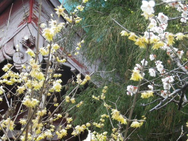 07-2)   17.02.18 鎌倉「光則寺」 梅咲く頃