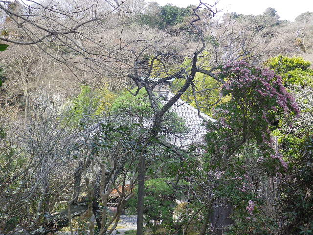 09-1)   17.02.18 鎌倉「光則寺」 梅咲く頃