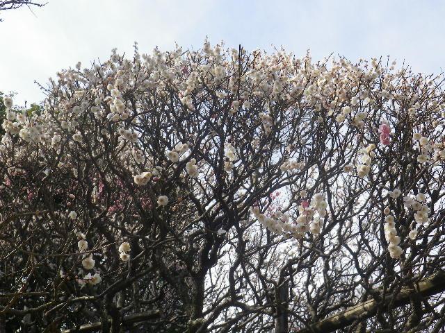 01-2)    17.02.18 鎌倉「宝戎寺」 休養期間と信じ、枝垂れ梅老大木の復活を願う。