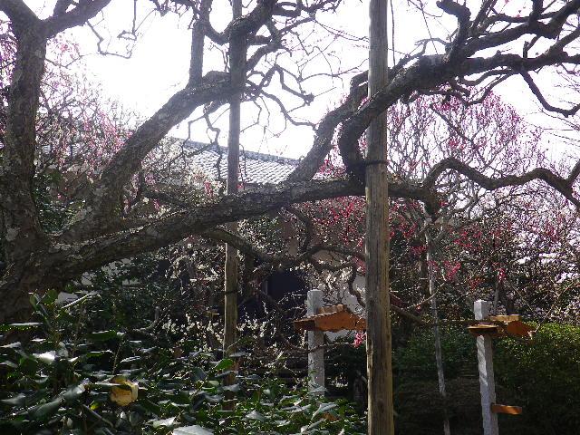 05-2)    17.02.18 鎌倉「宝戎寺」 休養期間と信じ、枝垂れ梅老大木の復活を願う。