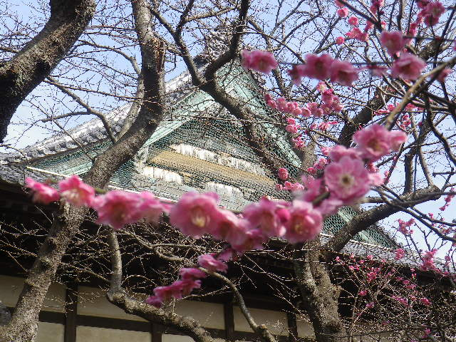 07)    17.02.18 鎌倉「宝戎寺」 休養期間と信じ、枝垂れ梅老大木の復活を願う。