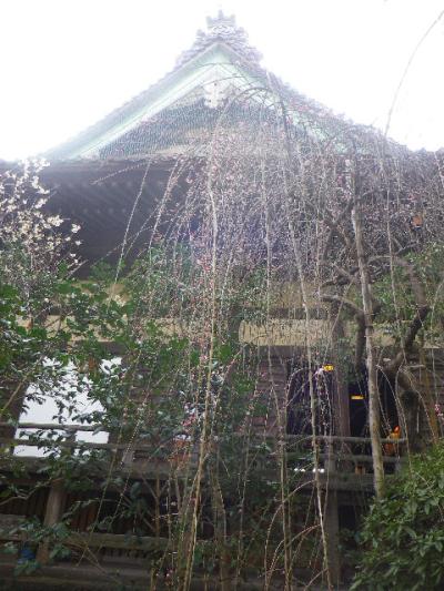09-1)    17.02.18 鎌倉「宝戎寺」 休養期間と信じ、枝垂れ梅老大木の復活を願う。