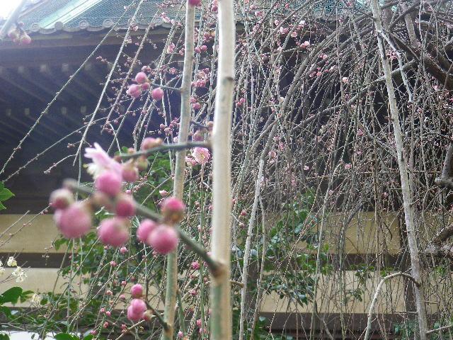 09-2)    17.02.18 鎌倉「宝戎寺」 休養期間と信じ、枝垂れ梅老大木の復活を願う。