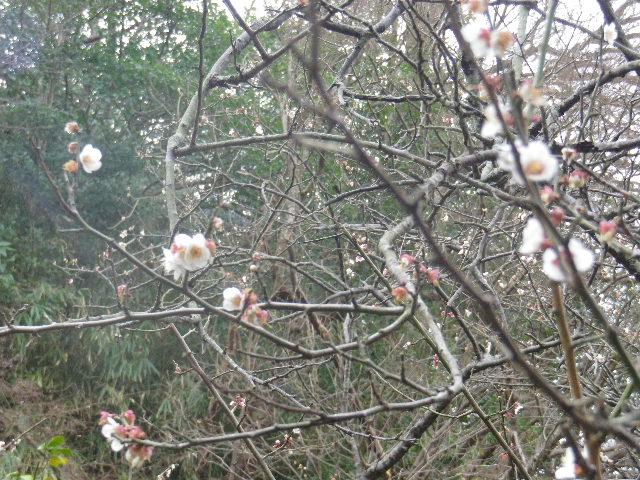 01-3)    17.02.22 鎌倉「安国論寺」 枝先に咲く梅の繊細さが際立つ頃