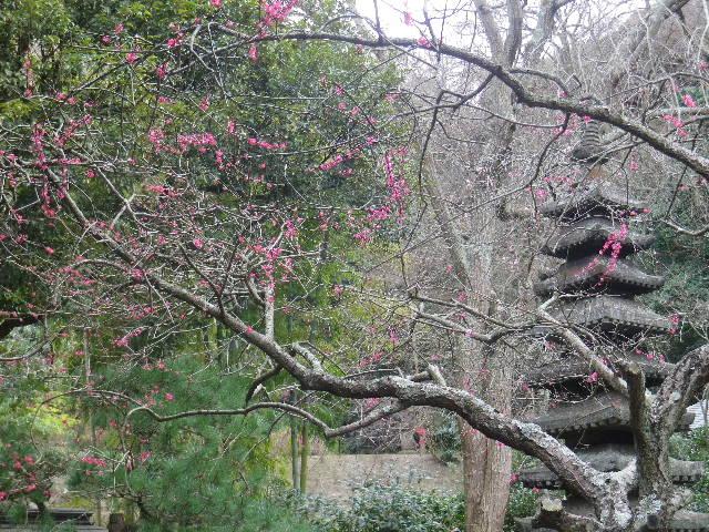 06-1)   17.02.22 鎌倉「安国論寺」 枝先に咲く梅の繊細さが際立つ頃