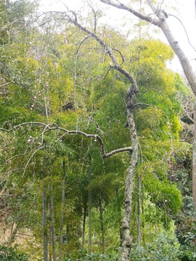 10-1) 鎌倉「安国論寺」 枝先に咲く梅の繊細さが際立つ頃