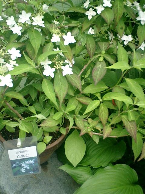 12-1) 山紫陽花「白富士」