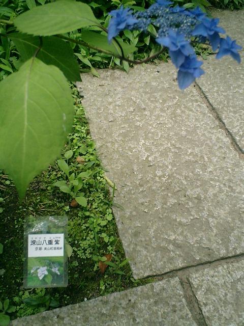 16-1) 京都美山町「深山八重紫」
