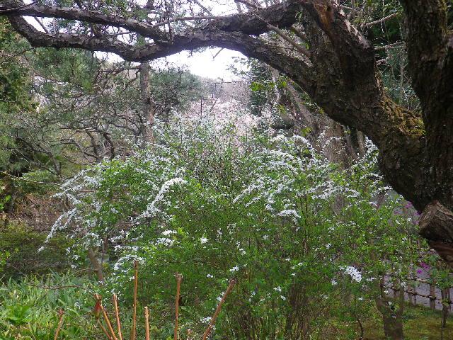 03-1)  17.03.30 鎌倉「安国論寺」 細身ながらも高木の古い桜が咲き揃った頃