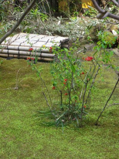 06)  17.03.30 鎌倉「安国論寺」 細身ながらも高木の古い桜が咲き揃った頃