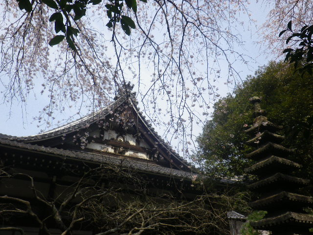 09-3a)  17.03.30 鎌倉「安国論寺」 細身ながらも高木の古い桜が咲き揃った頃