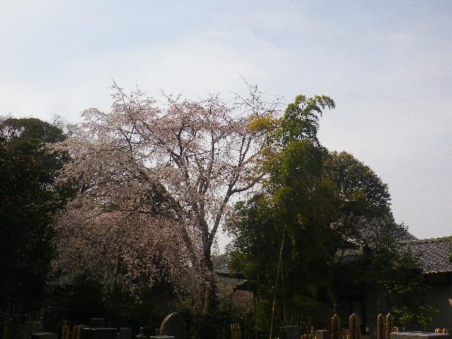 10-1)  17.03.30 鎌倉「安国論寺」 細身ながらも高木の古い桜が咲き揃った頃